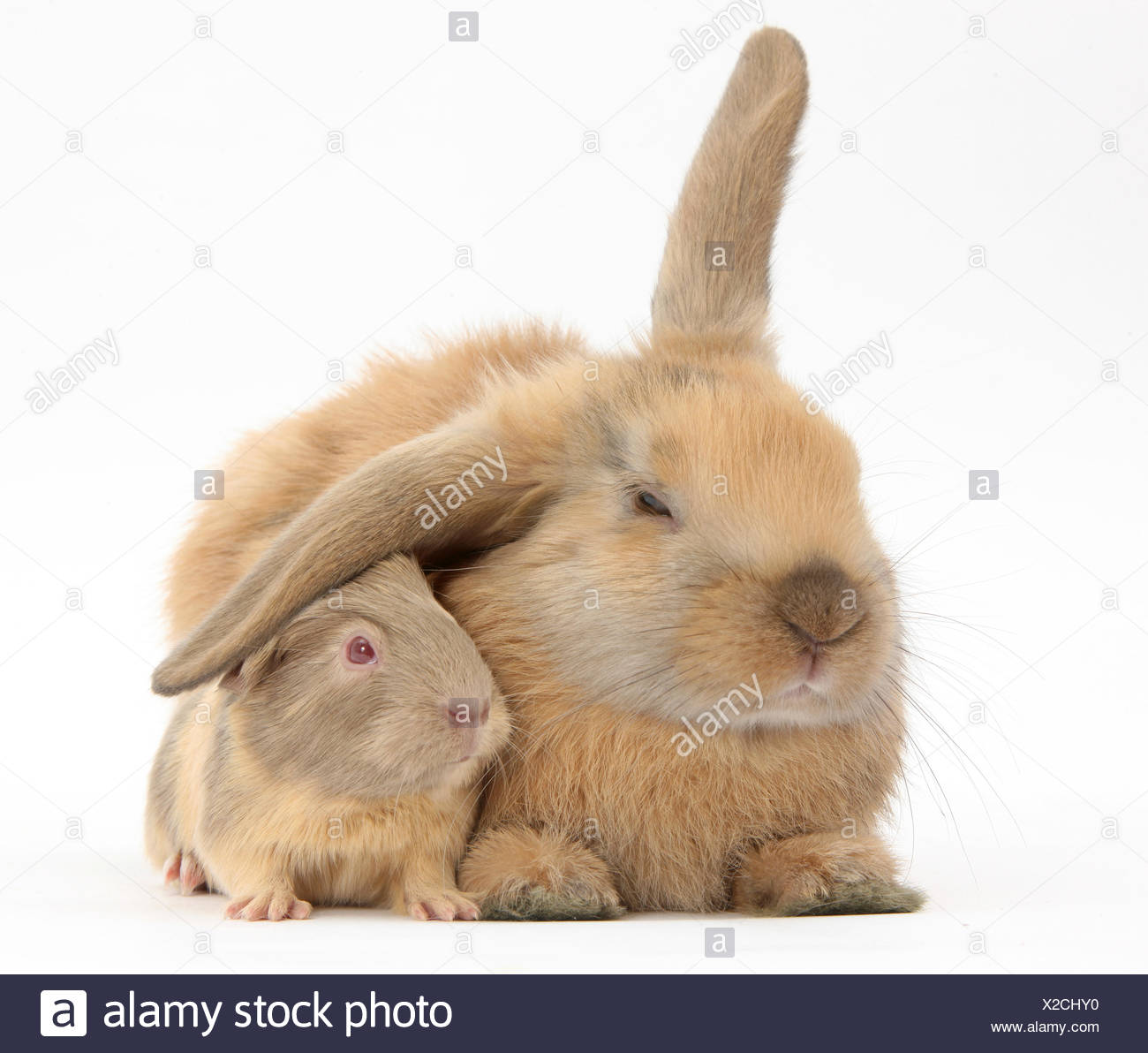 Young windmill-eared rabbit and matching guinea-pig. - Stock Image