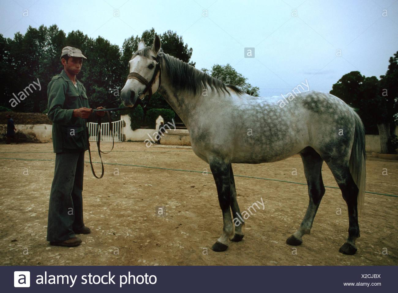 domestic horse (Equus przewalskii f. caballus), dappled-grey, crossing of Berber and Arab Stock Photo