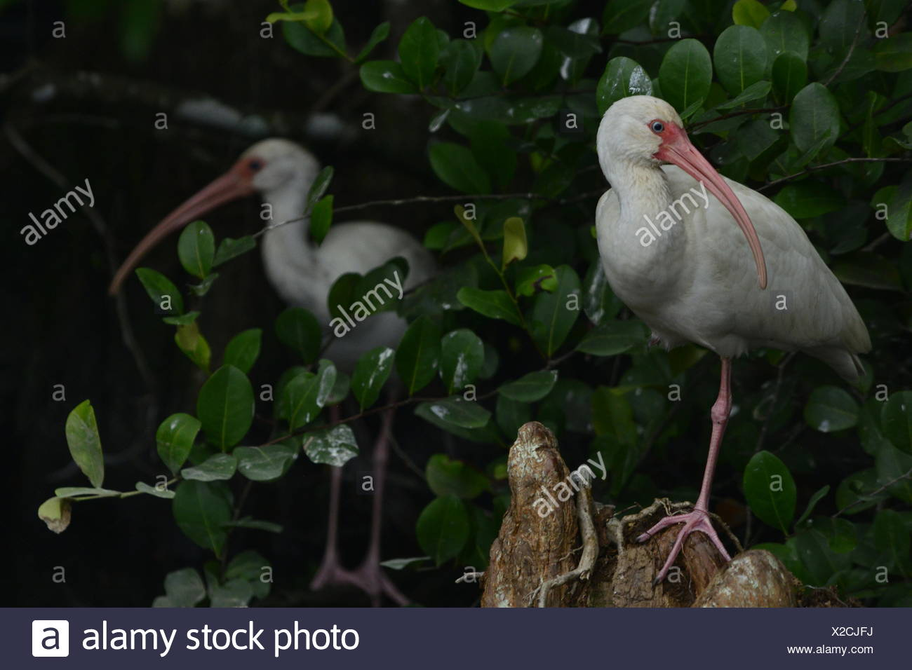 A pair of white ibis standing amid foliage. - Stock Image