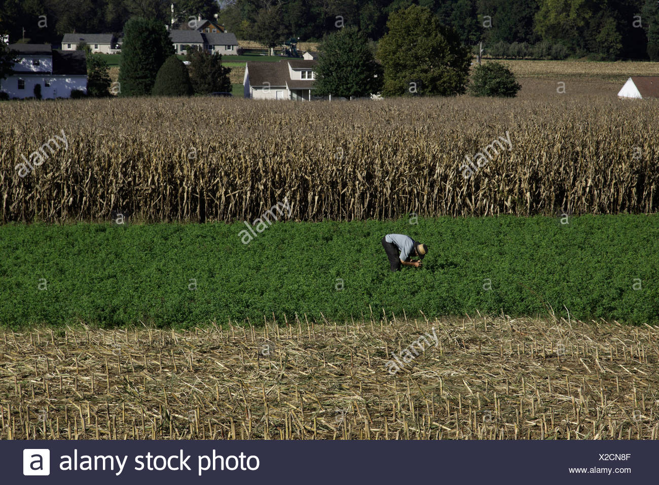 Cutting alfalfa on the Amish farm of Levi Fischer of Paradise, PA. - Stock Image