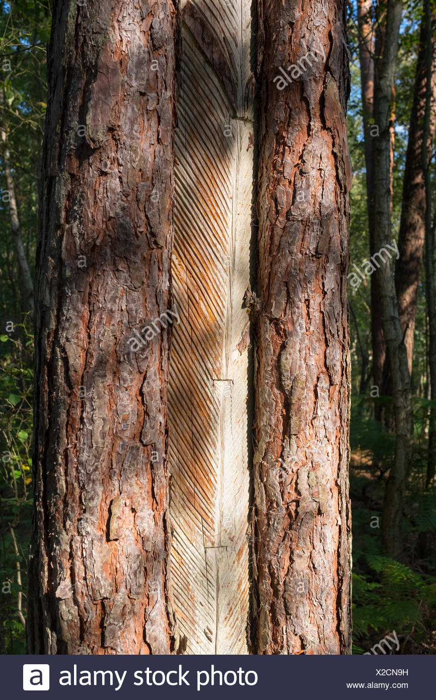 Pine trunk with bark stripped away to obtain resin, Darß Forest, Darß, Fischland-Darß-Zingst, Western Pomerania Lagoon Area - Stock Image