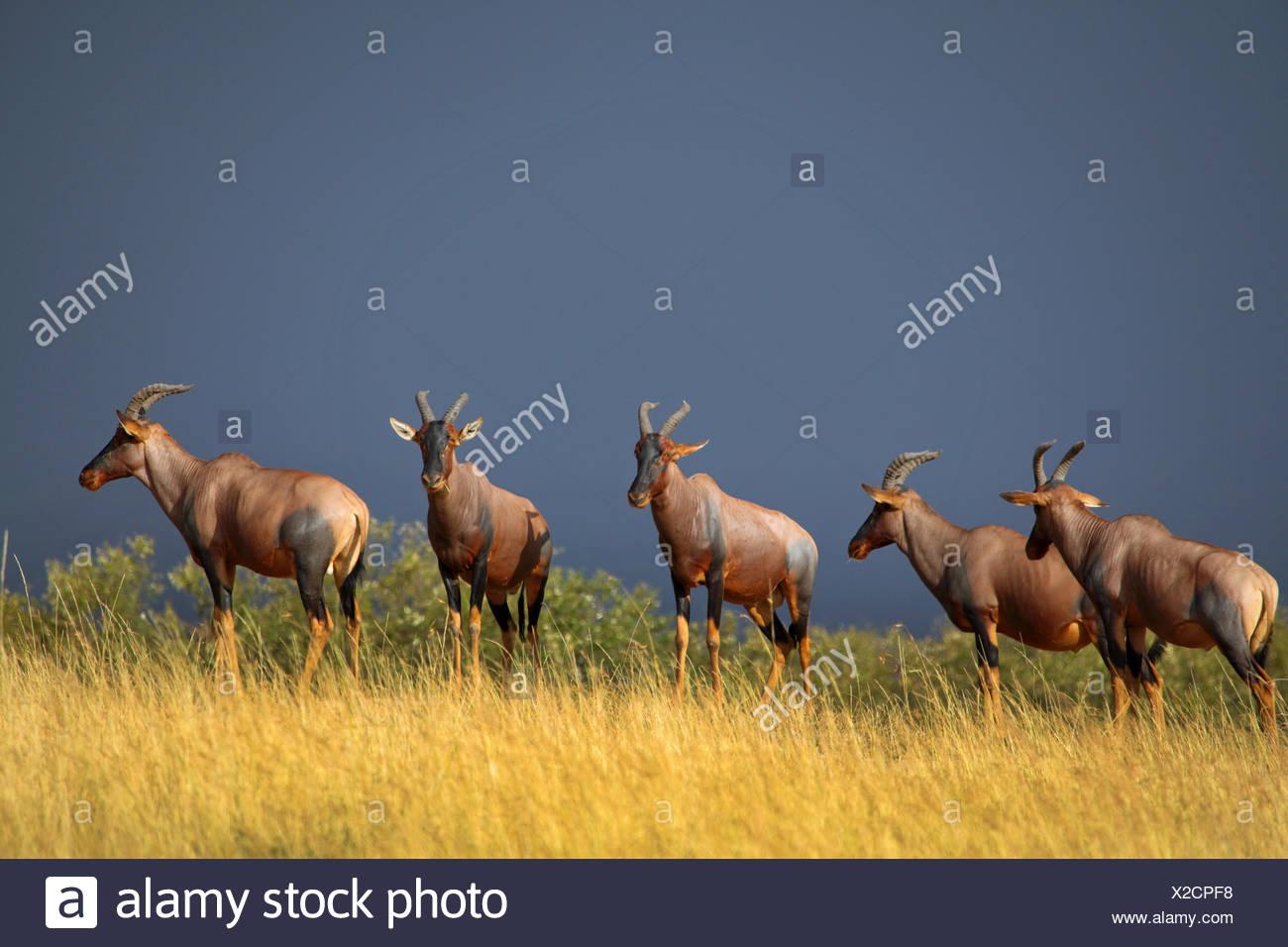 topi, tsessebi, korrigum, tsessebe (Damaliscus lunatus jimela), five topis standing together on high grass, Kenya, Masai Mara National Park - Stock Image