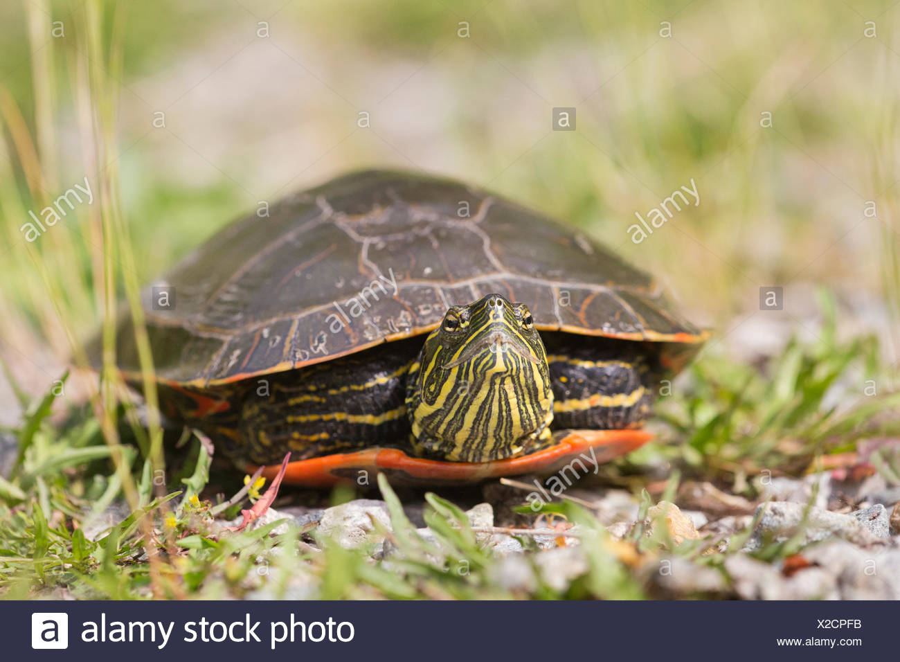Western painted turtle (Chrysemys picta bellii), female, Nicomen Slough, Agassiz, British Columbia, Canada.  The Pacific Coast population of this species is endangered in Canada. - Stock Image