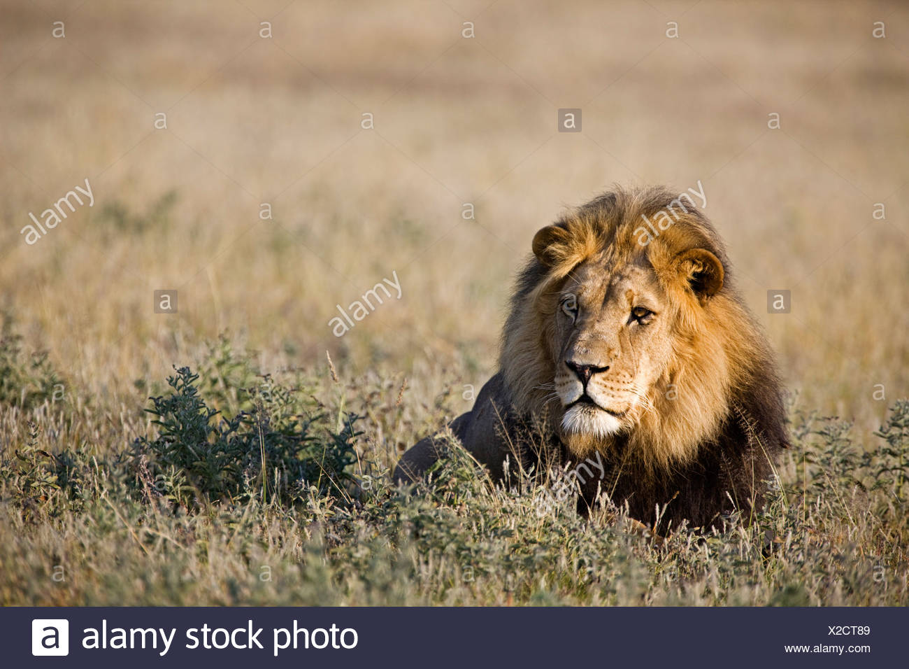 Africa, Botswana, Adult male lion (Panthera leo) resting on grass - Stock Image