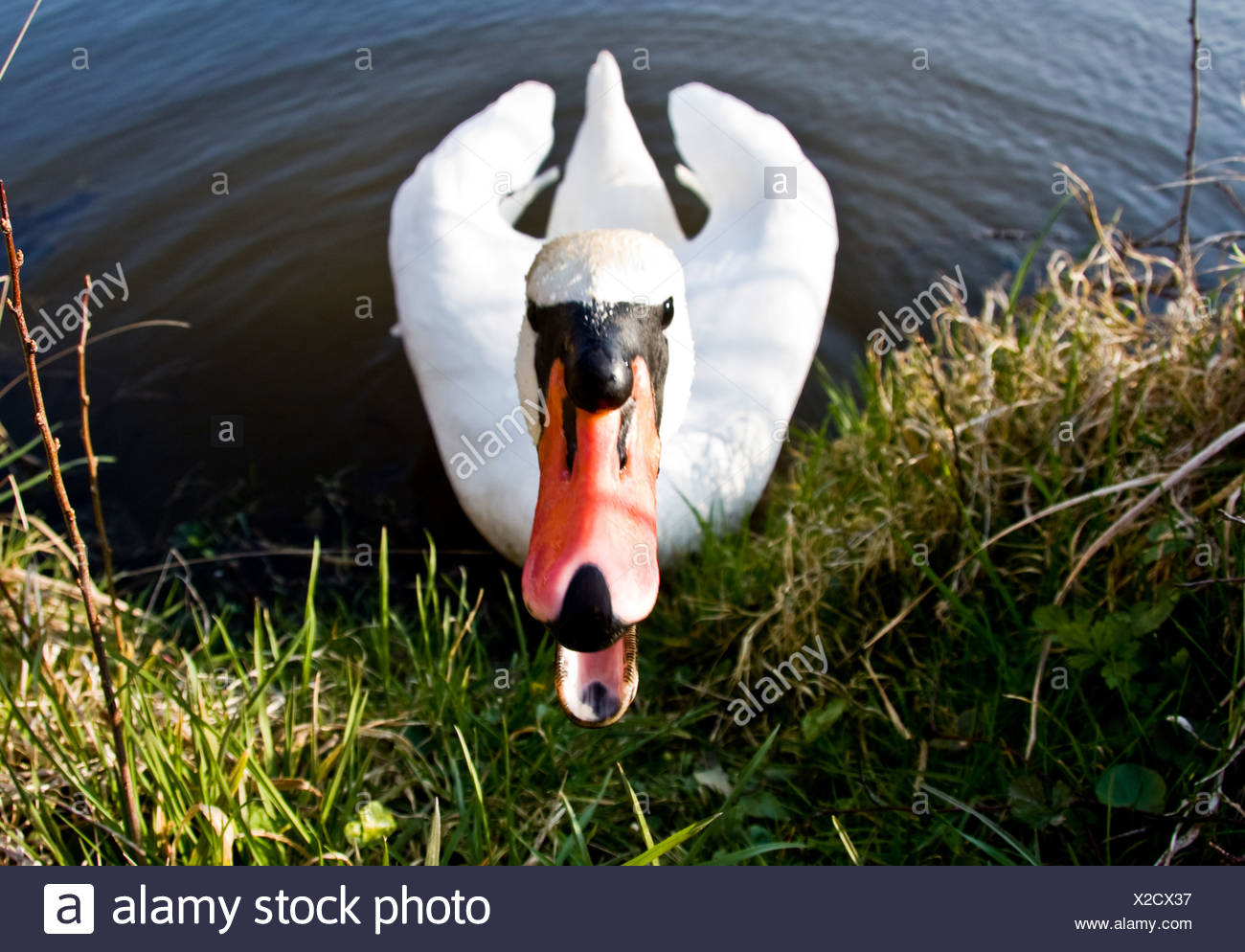 threaten,snarling,swan - Stock Image