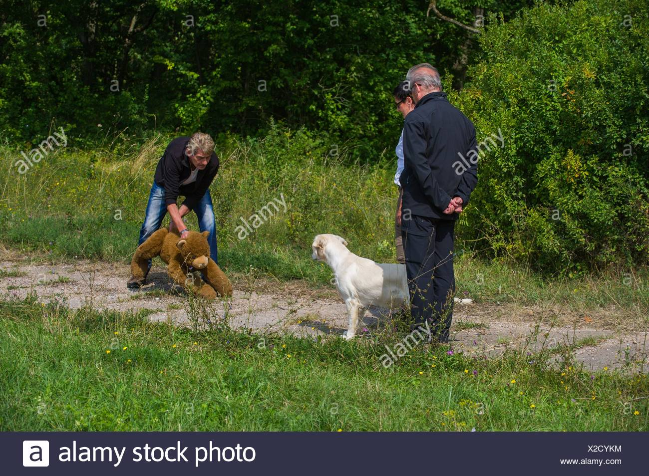 Golden Retriever at character testing - Stock Image