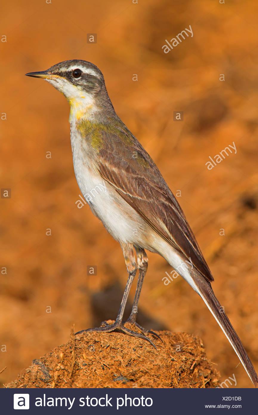 yellow wagtail (Motacilla flava), sitting on the ground, Oman - Stock Image