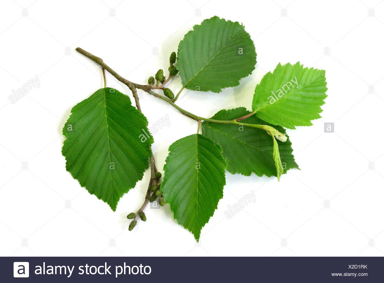 Grey Alder, Gray Elder ( Alnus incana), twig with leaves and  fruits, Studio, Freisteller - Stock Image