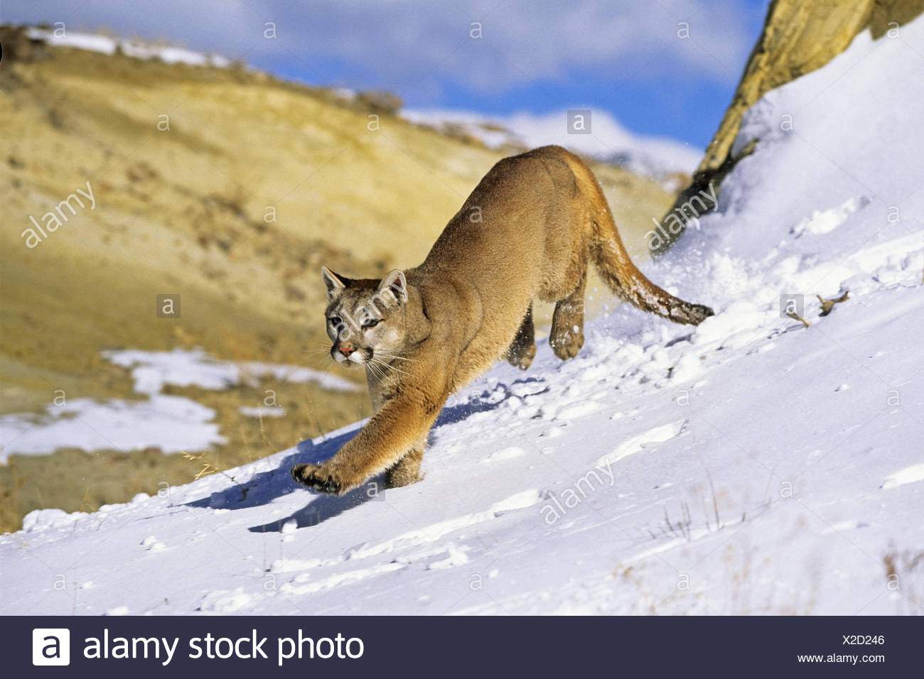 puma, mountain lion, cougar (Puma concolor, Profelis concolor), female cougar in snow walking, USA, Colorado - Stock Image