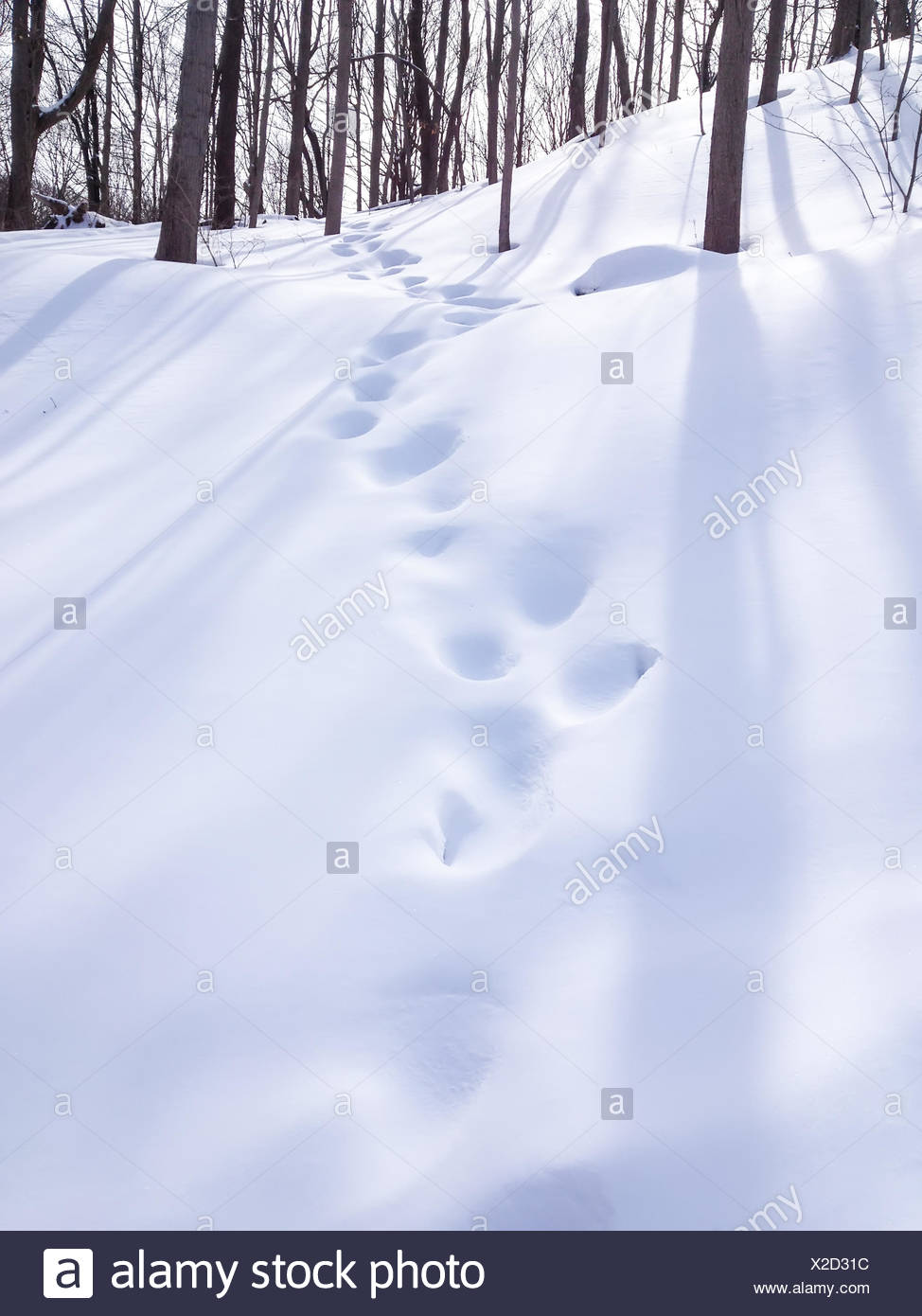 USA, Illinois, DuPage County, Darien, Winter woods in afternoon - Stock Image