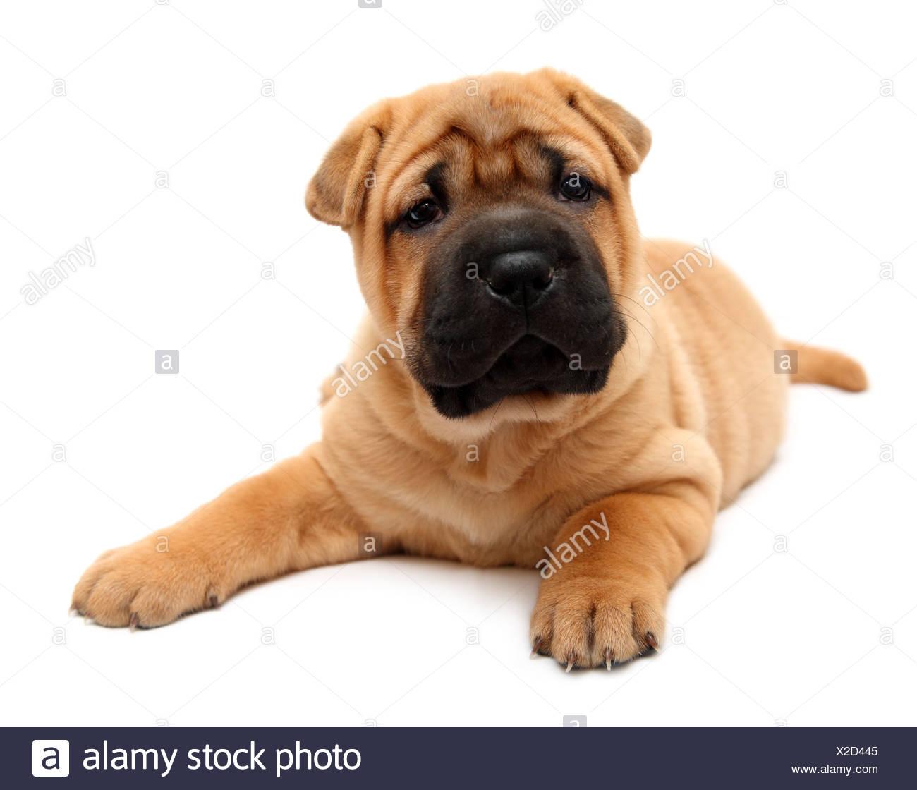 shar pei puppy - Stock Image