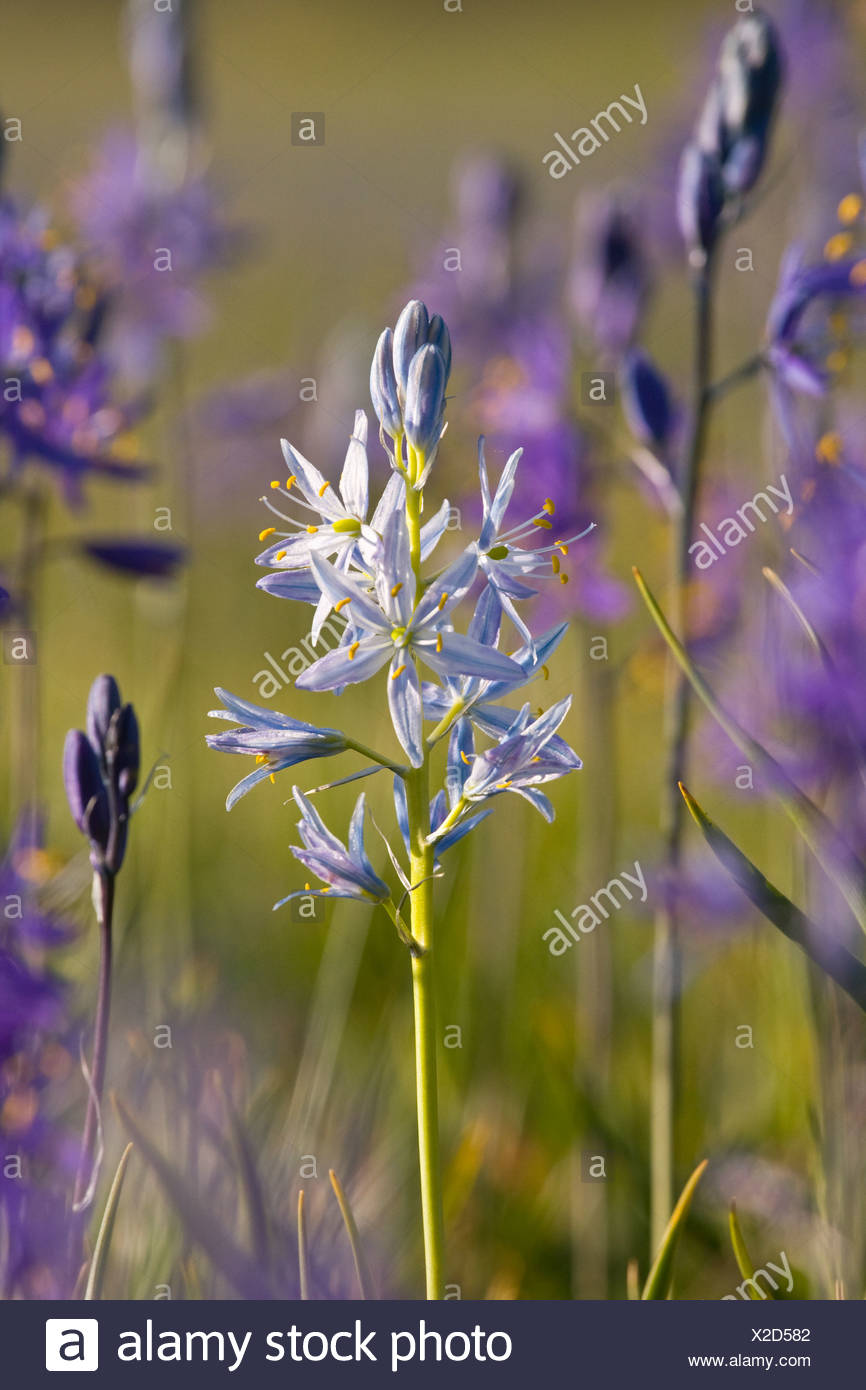A closeup photo of a single white Camas Lily in a field of purple Camas Lilys in Sagehen Meadow near Truckee in California - Stock Image