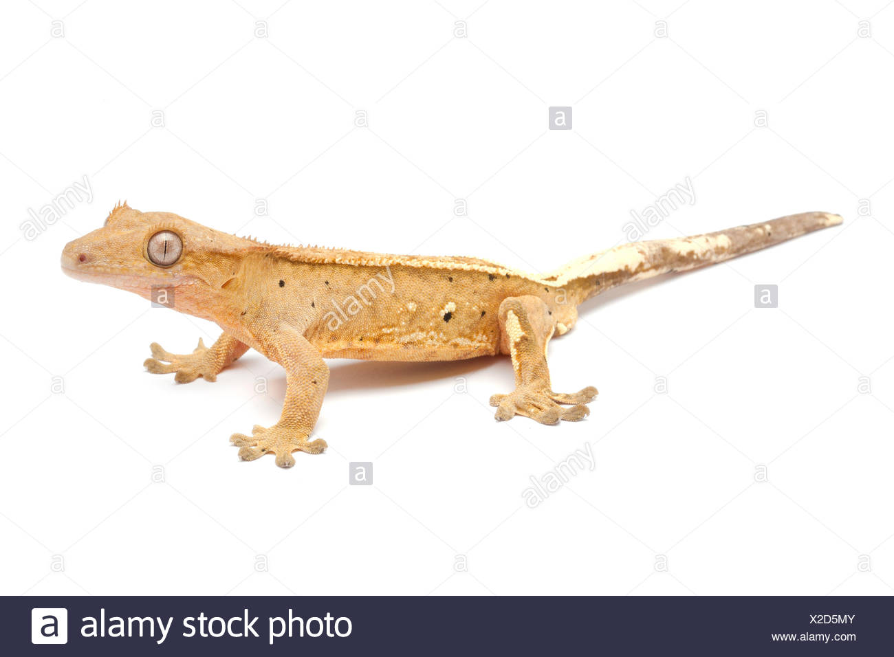 New Caledonia Crested Geck 'pin striped' on white background - Stock Image