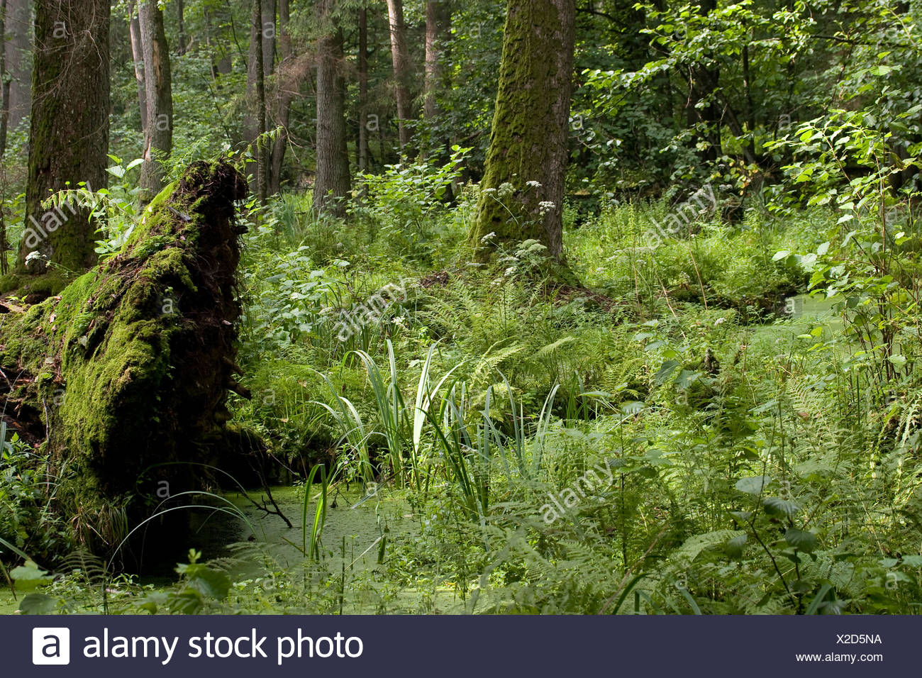 Impression of the soaking wet Alder Swamp in the strict reserve of the Bialowieza National Park. Stock Photo