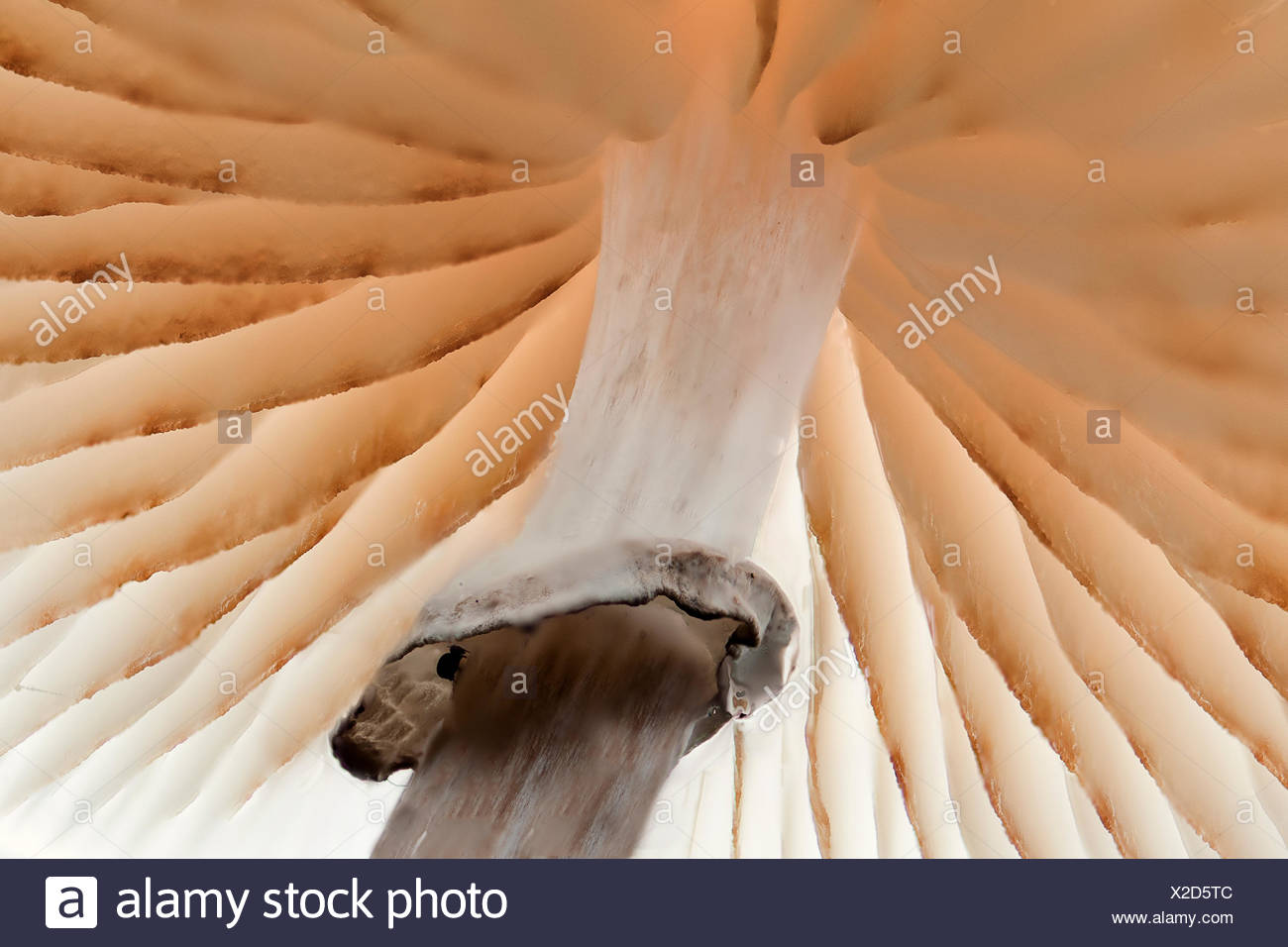 Bottom site of porcelain mushroon in olterterp. - Stock Image