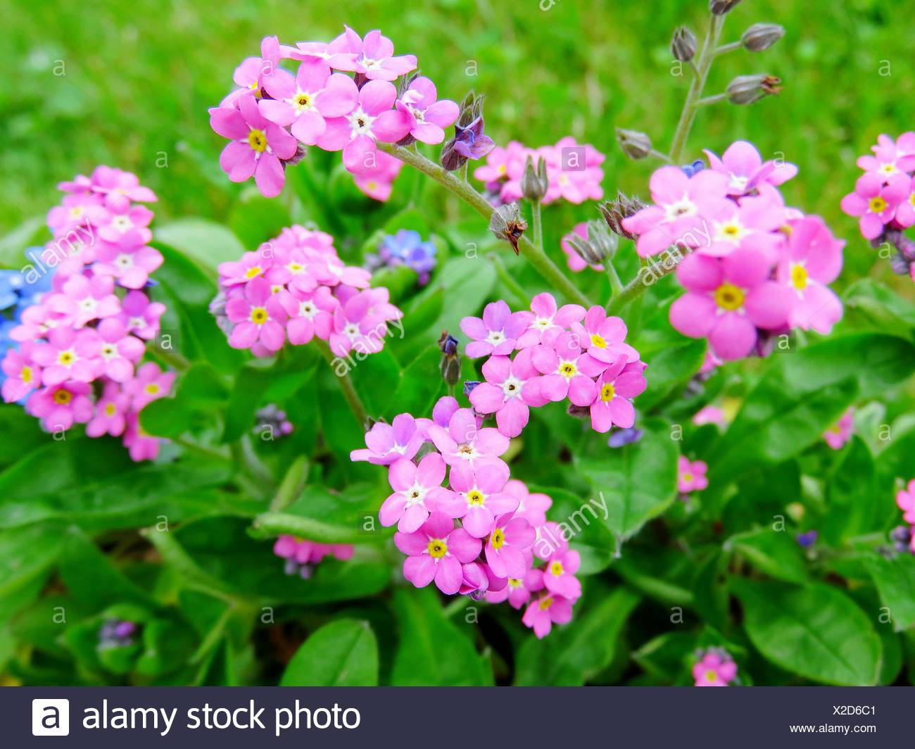 Close Up View Of Forget Me Not Pink Flowers Stock Photo 276885617