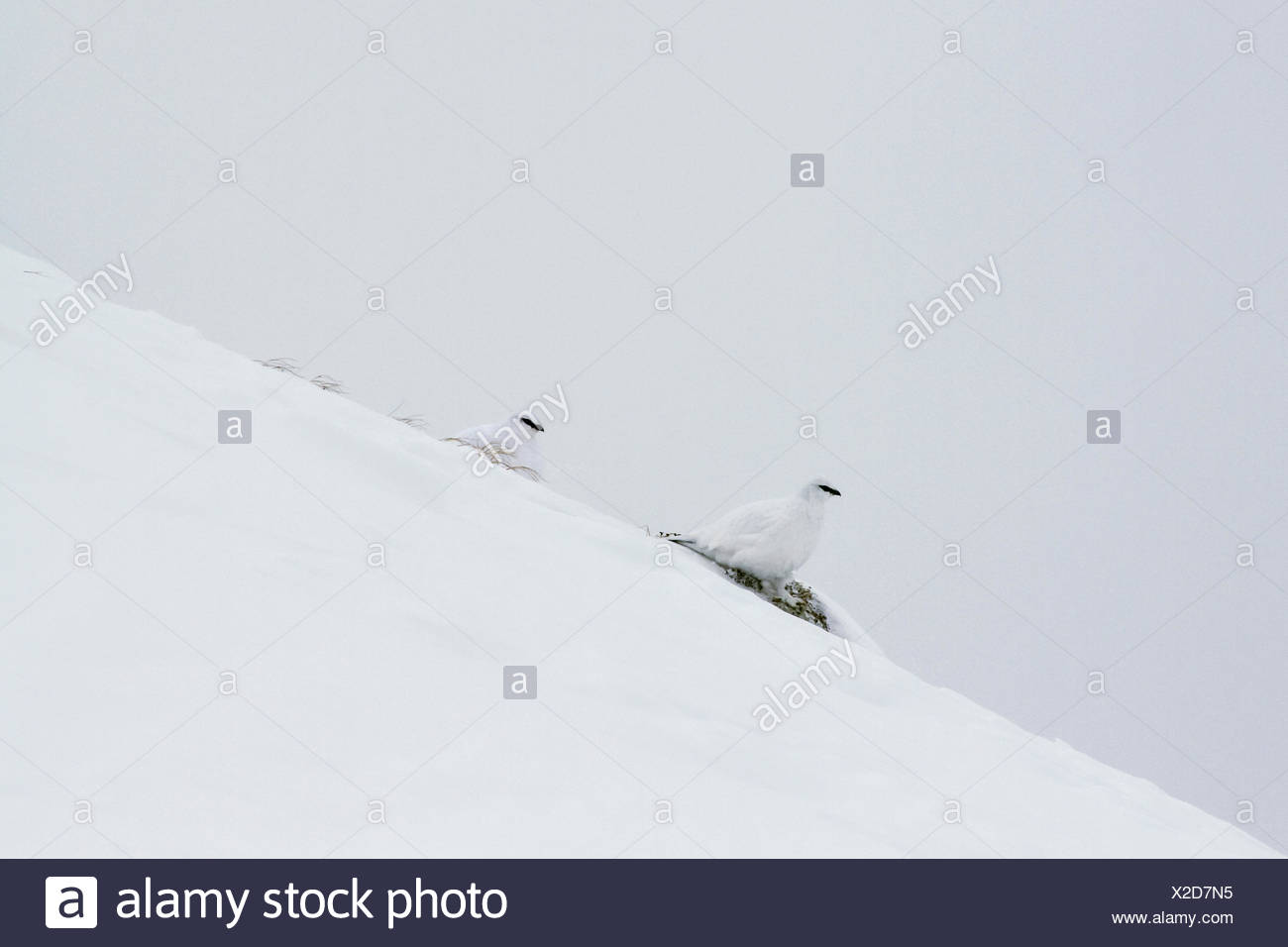 Rock ptarmigans,Lagopus mutus,on a snow covered slope. - Stock Image