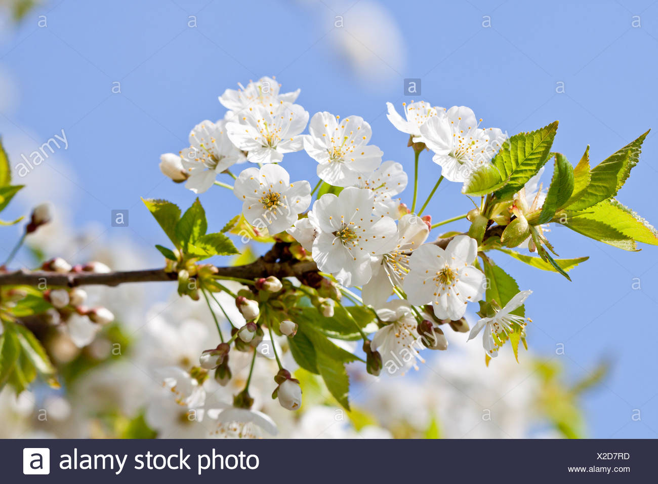 White Cherry Blossoms On A Branch Tree With Blue Himme Stock Photo