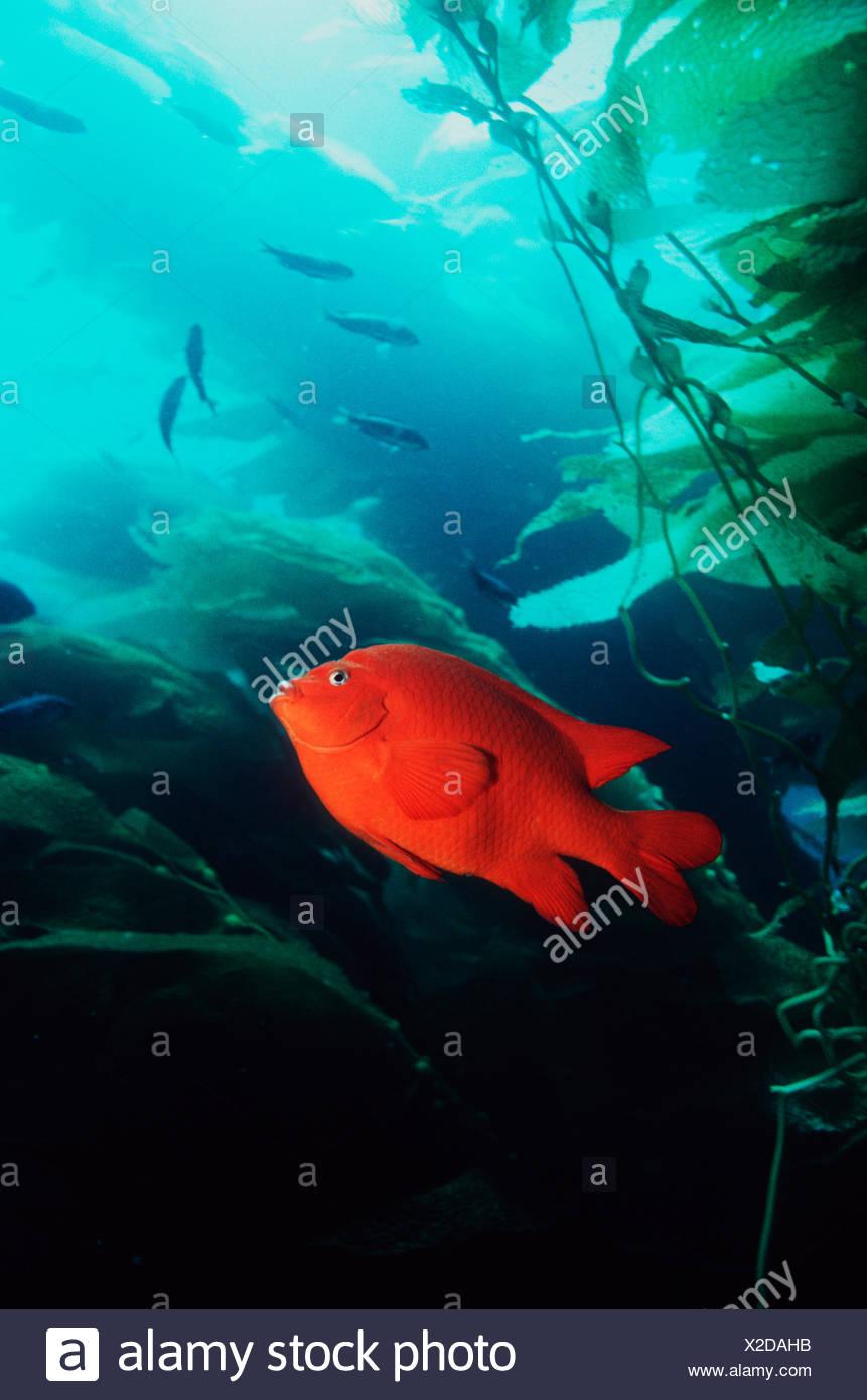 Garibaldi (Hypsypops rubicanda) amongst Giant Kelp (Macrocystis sp) California, USA Stock Photo