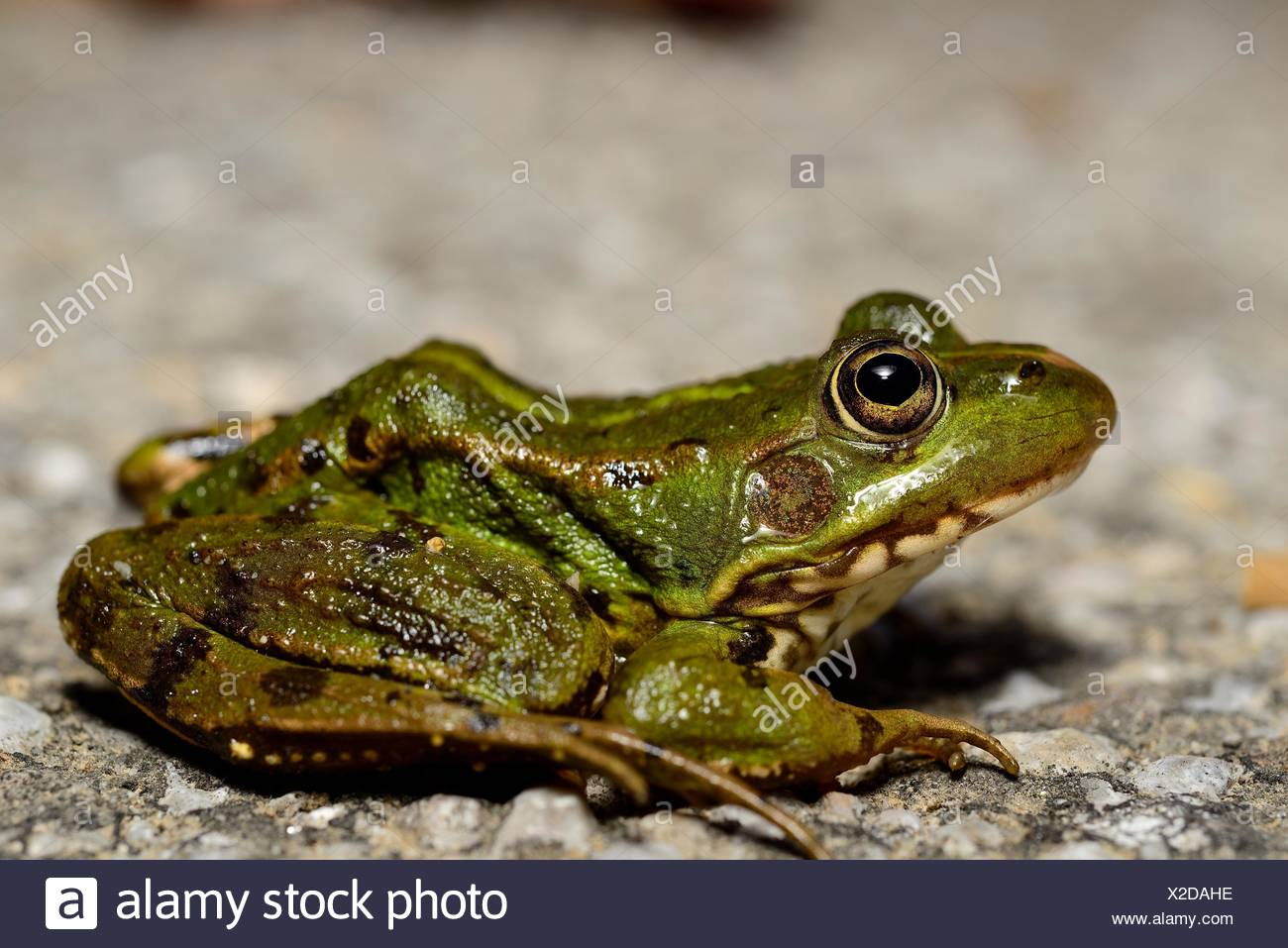 Common green frog (Pelophylax perezi) in a pond of Mouruas, Orense, Spain - Stock Image