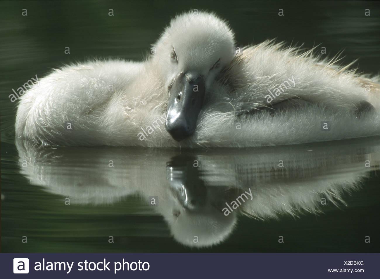 Mute swan - chick in water / Cygnus olor Stock Photo