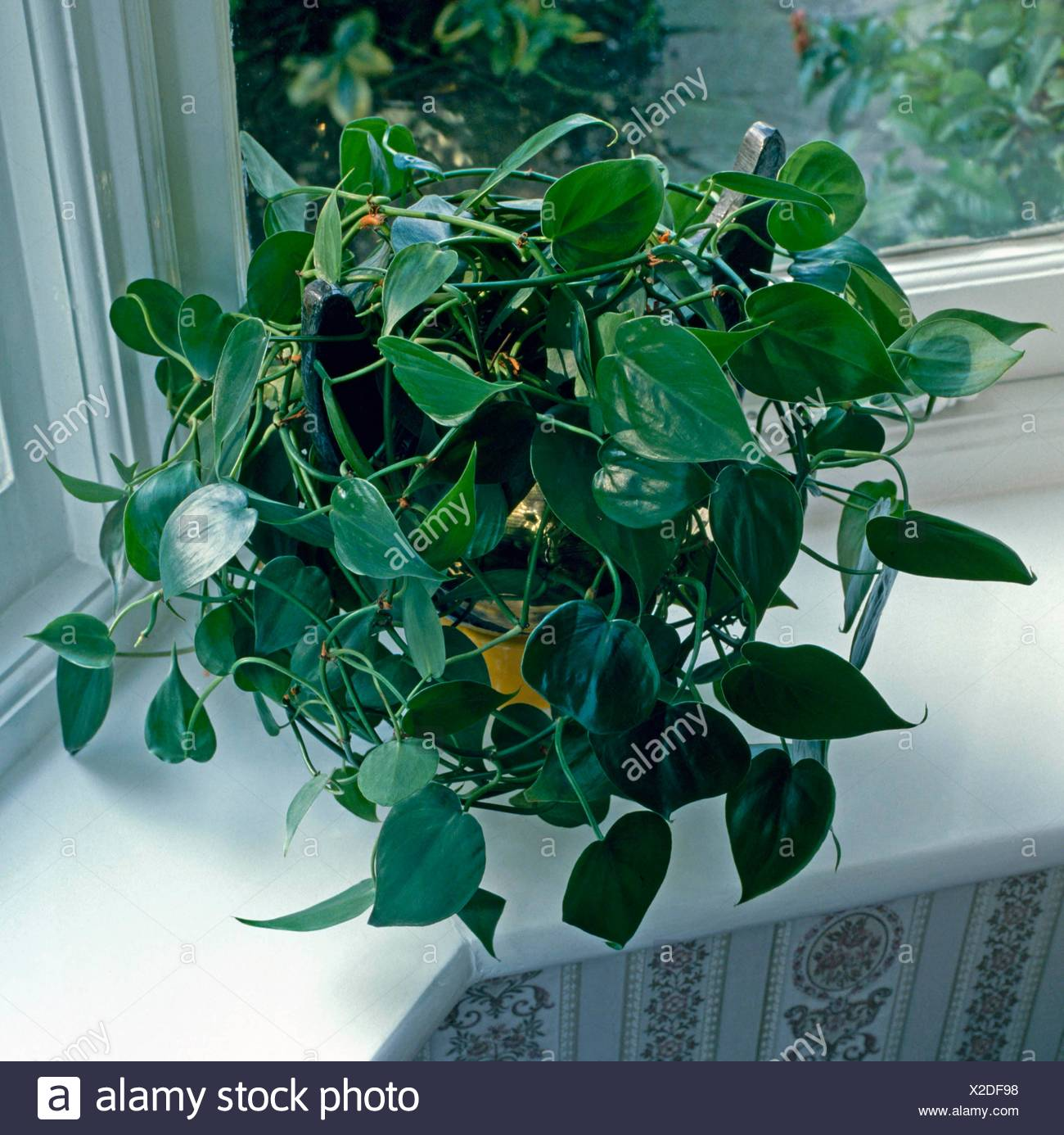 Philodendron Scandens Heart Leaf Philodendron Hps053761 Stock Photo Alamy