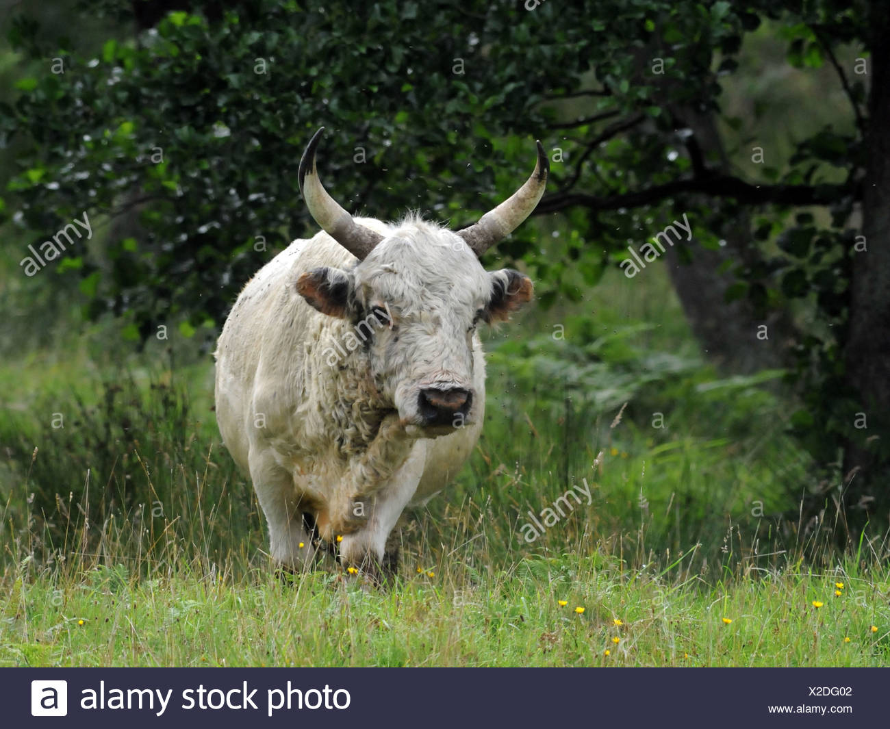 The wild cattle of Chillingham, Northumberland which are an endangered breed of cattle. - Stock Image