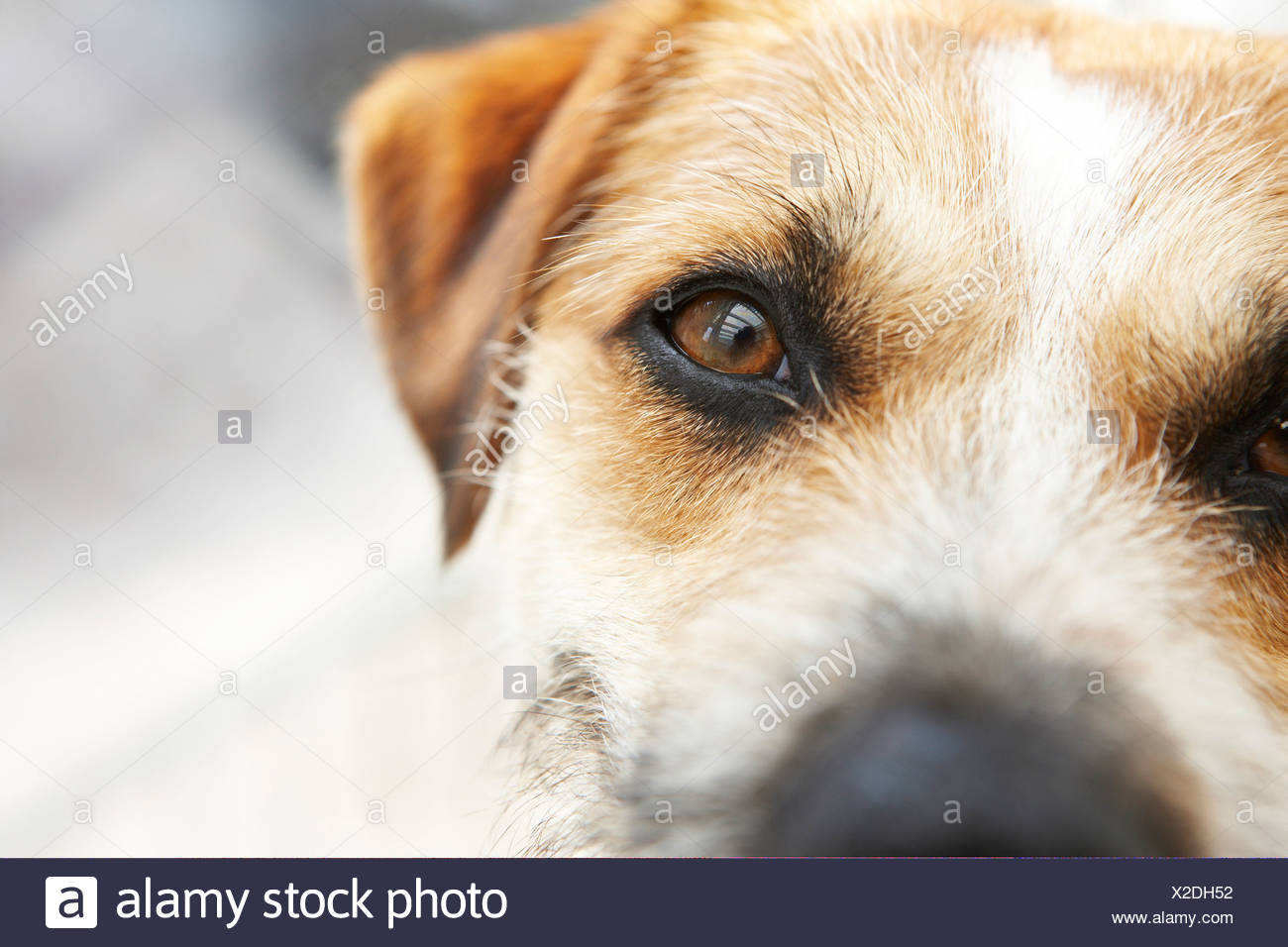 Jack Russell Terrier, close-up - Stock Image