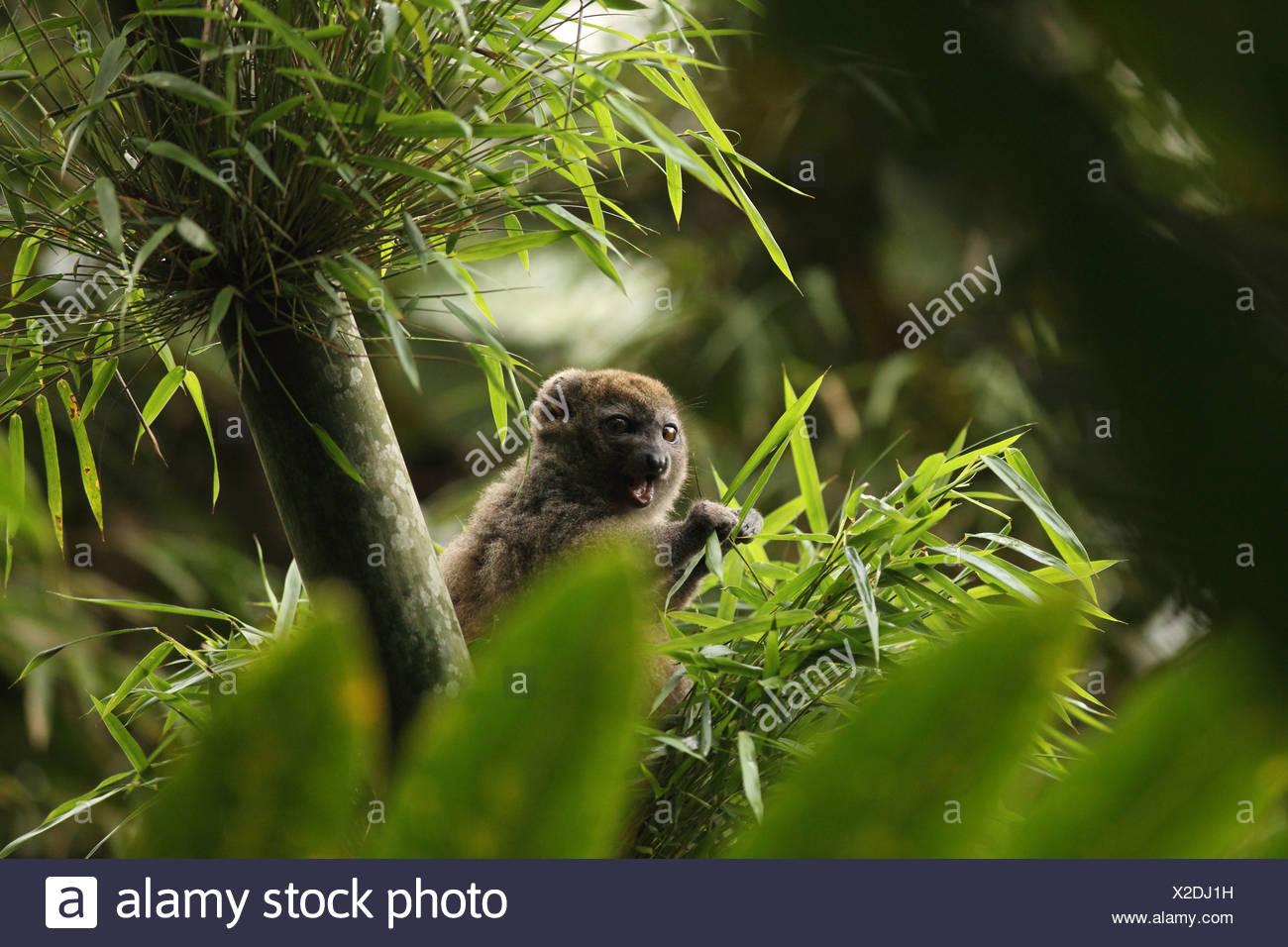 animal, mammal, lemur, Western gentle lemur, Sambirano lesser bamboo lemur, Western lesser bamboo lemur, Western grey bamboo lem - Stock Image