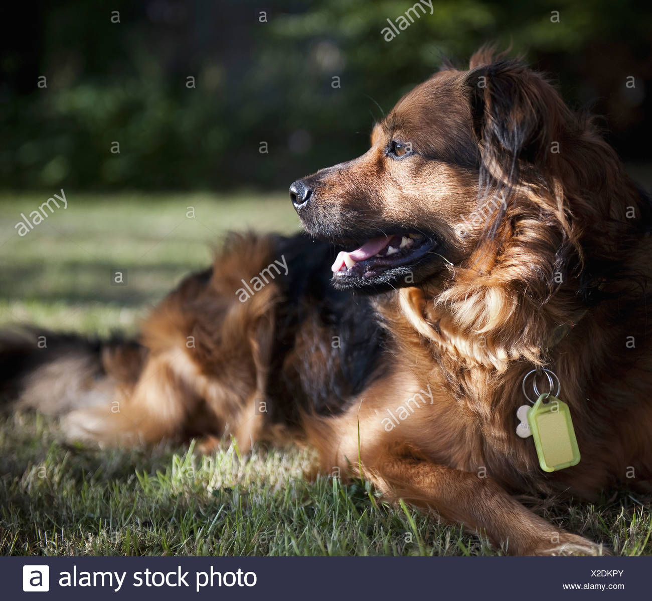 A large brown dog lying on the grass turning its head to look about A collar and identity tags England - Stock Image