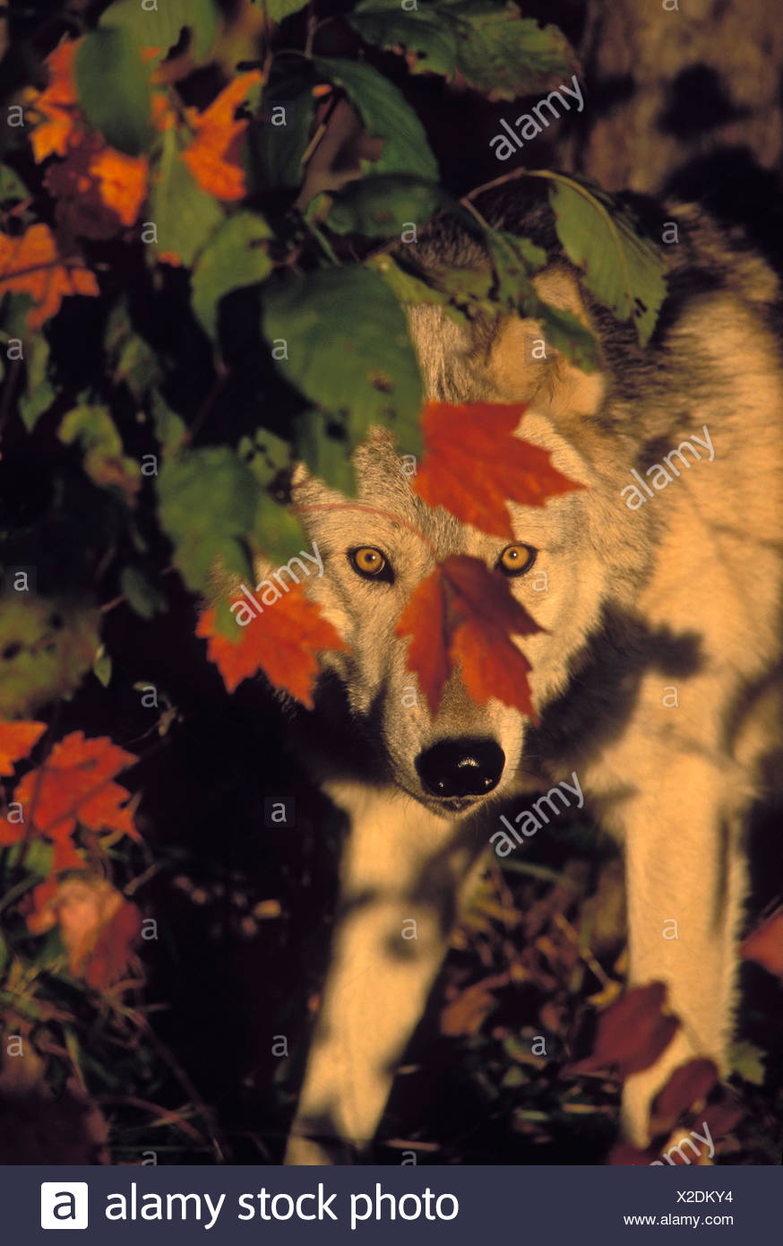 Tk0639, Thomas Kitchin; Gray Wolf In Maple Leaves. Autumn. Minnesota. Canis Lupus. - Stock Image