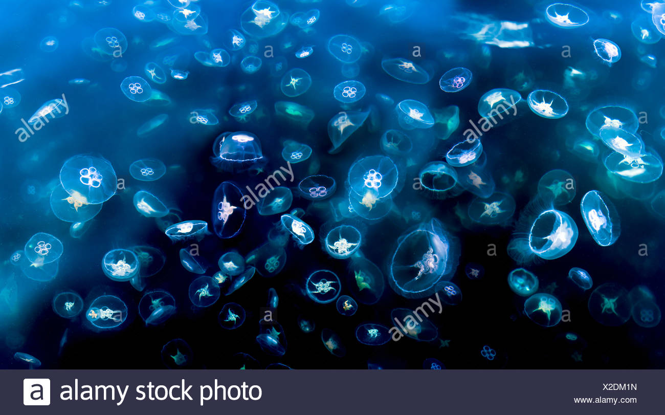 Huge swarm of Moon, saucer or Common Jellyfish photographed from surface, Loch Na Keal, Isle of Mull - Stock Image