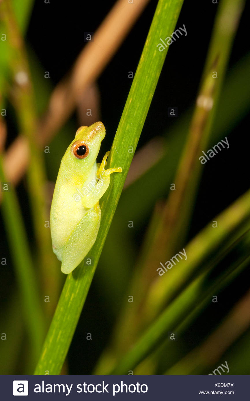 Photo of a Sharp-nosed reed frog - Stock Image