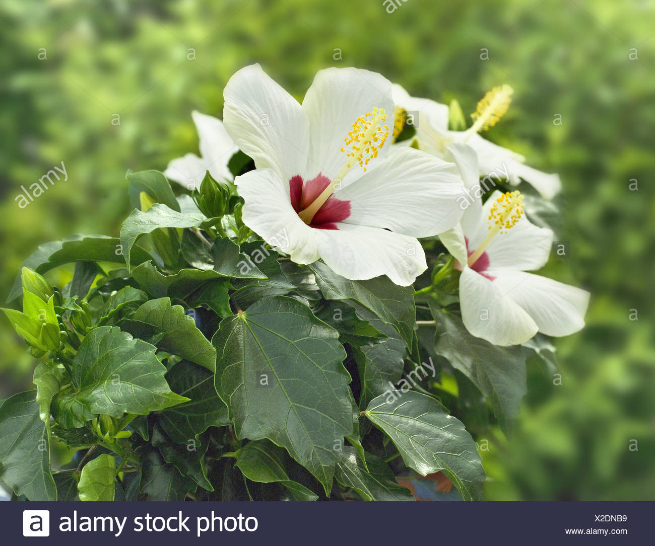 Garden, hibiscus, blossoms, white-red, plants, bloomer, mallow plant, shrub marsh mallow, ornamental plant, flower shrub, flowers, hibiscus blossoms, period bloom, nature, - Stock Image
