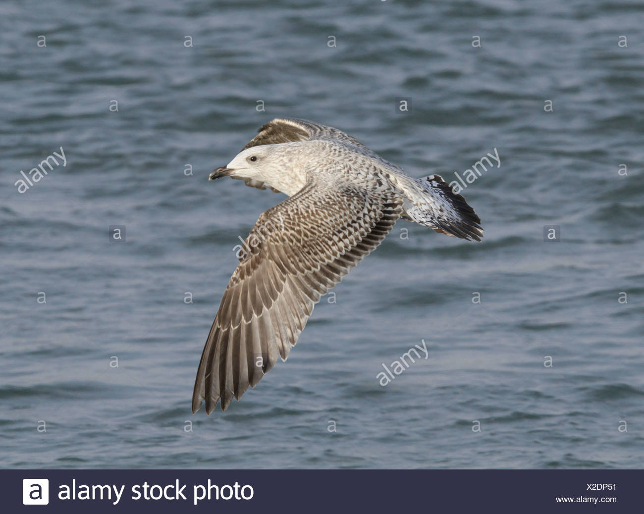 Herring Gull - Larus argentatus - 1st winter - Stock Image