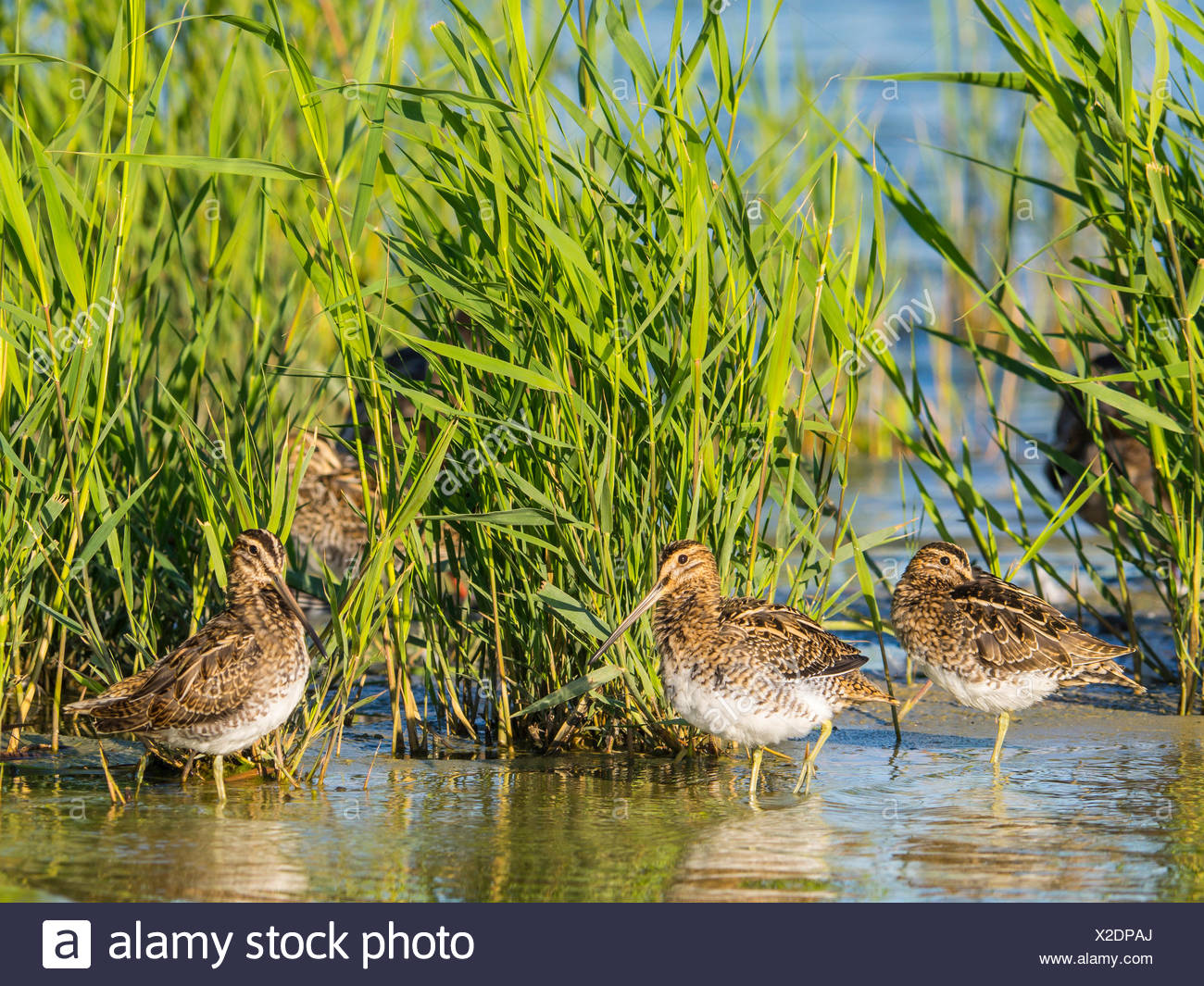 common snipe (Gallinago gallinago), troop resting in reed belt, Germany - Stock Image