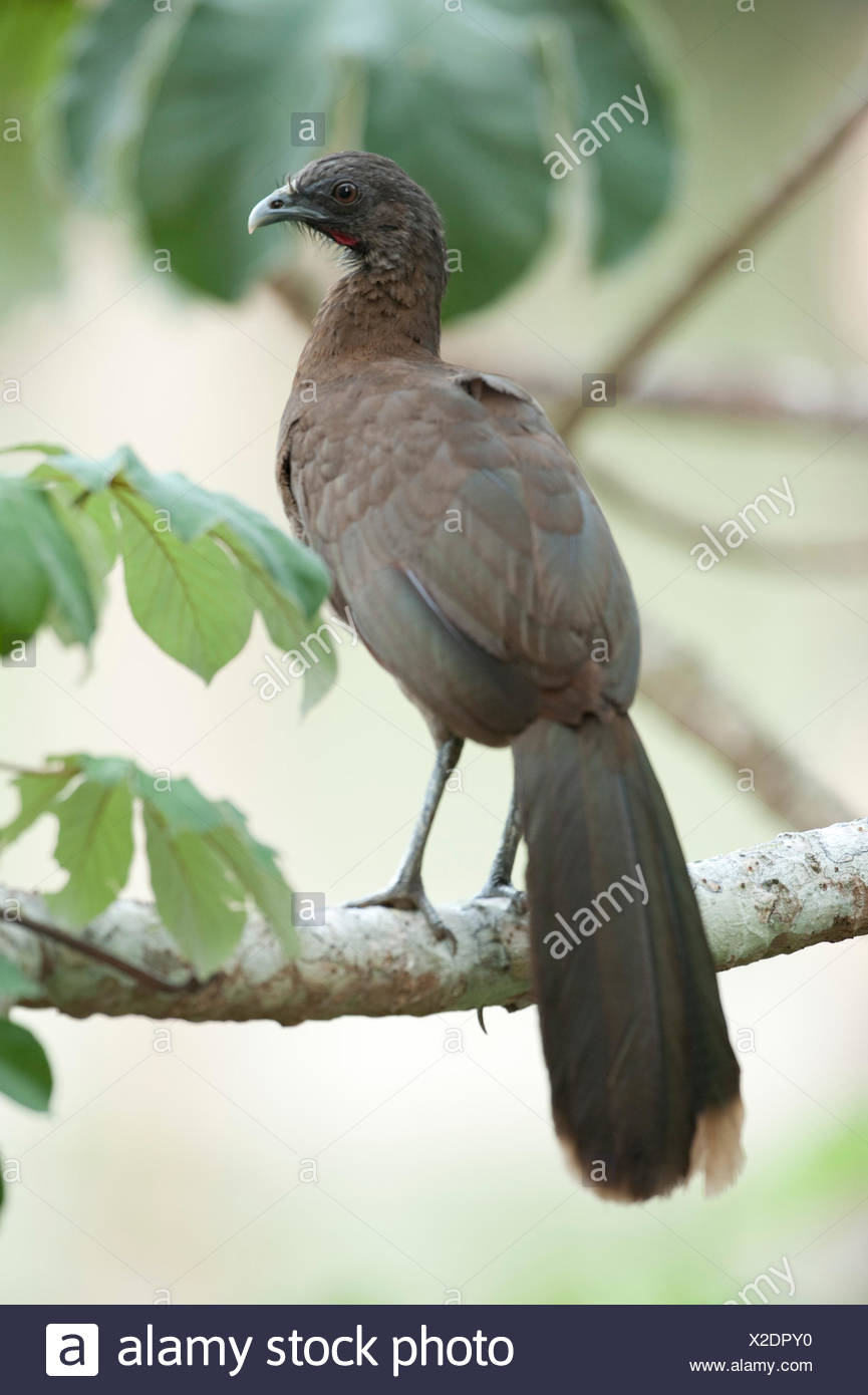 Grey Headed Chachalaca Ortalis cinereiceps Panama - Stock Image