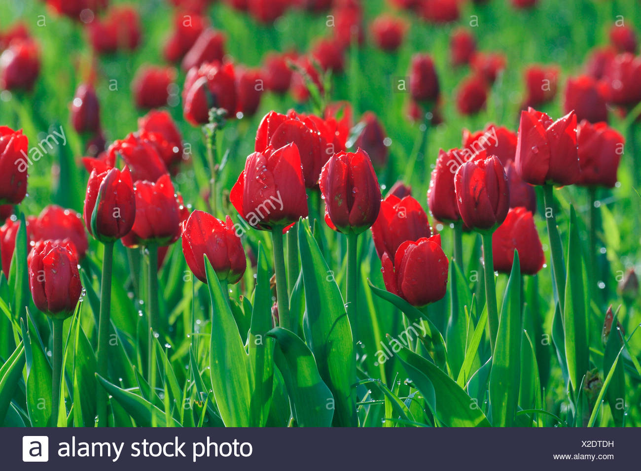 Tulipa tulip flower flowers spring meadow flower meadow flowers meadow colored different colors red loudly - Stock Image