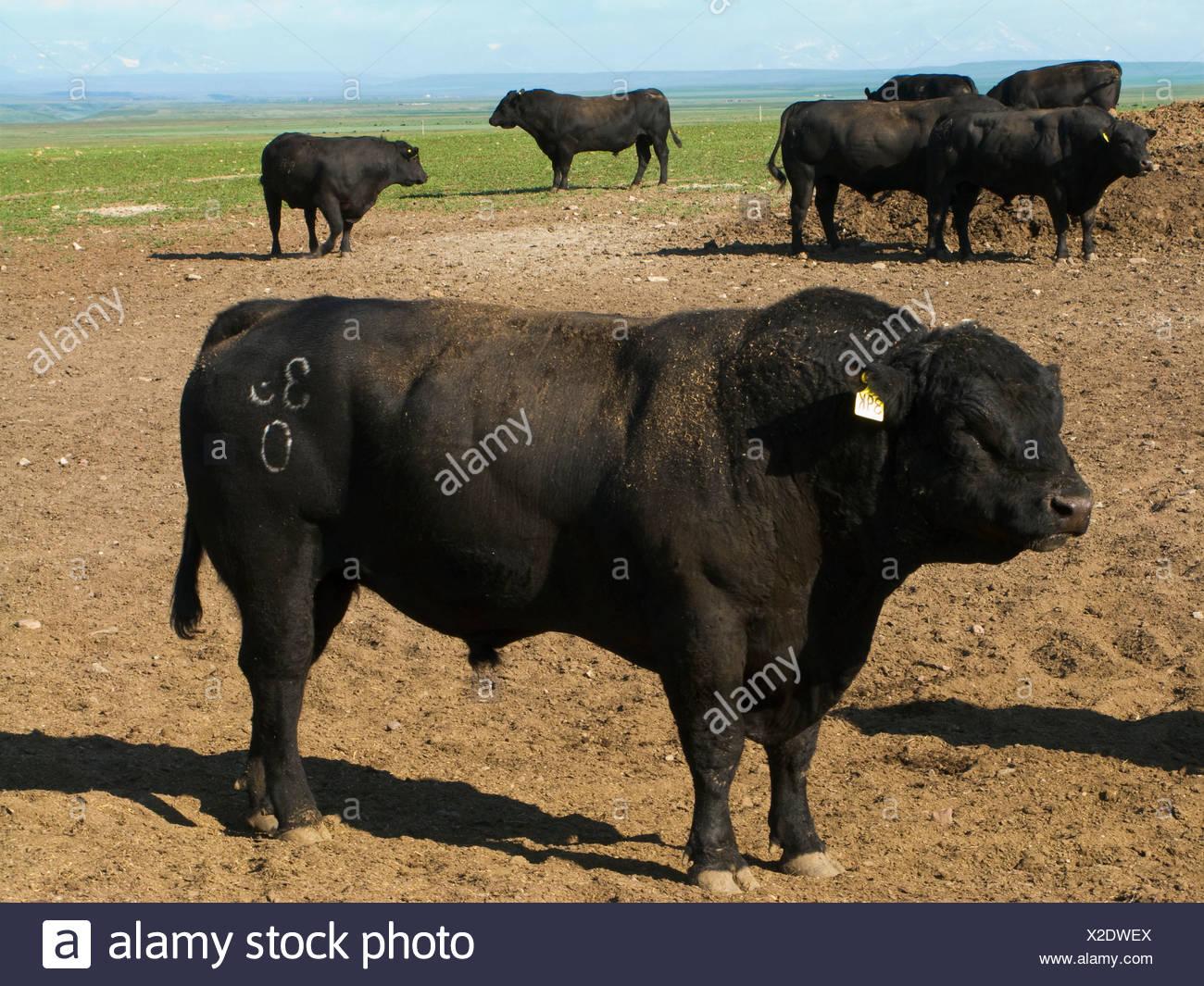 Livestock - Black Angus bulls on an open pasture / Alberta, Canada. - Stock Image