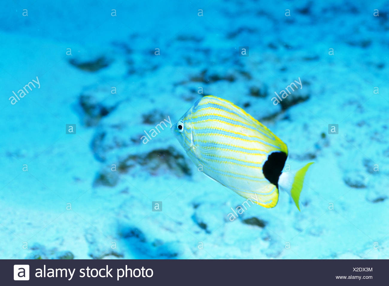 Congratulate, you Info on striped butterfly fish really