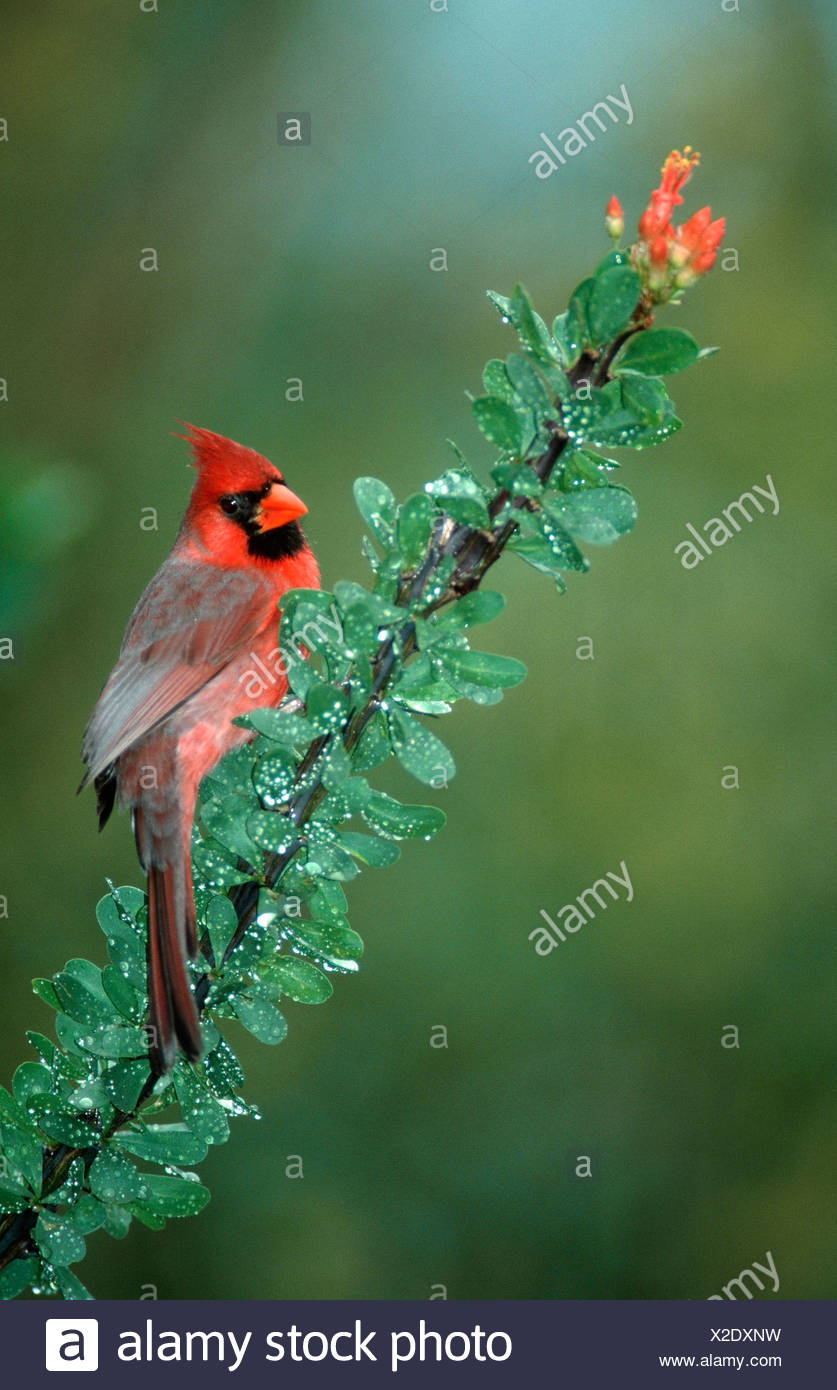 Common Cardinal - Stock Image