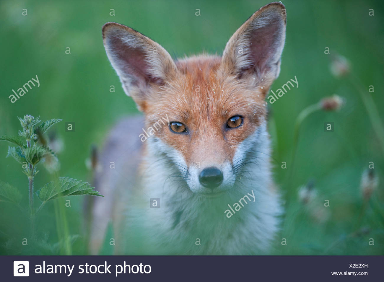 Red fox (Vulpes vulpes) with grass seed on face, England - Stock Image