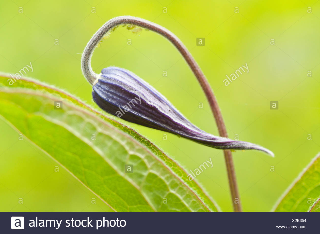 Clematis, Clematis Integrifolia 'Henderson', Blue, Green. - Stock Image
