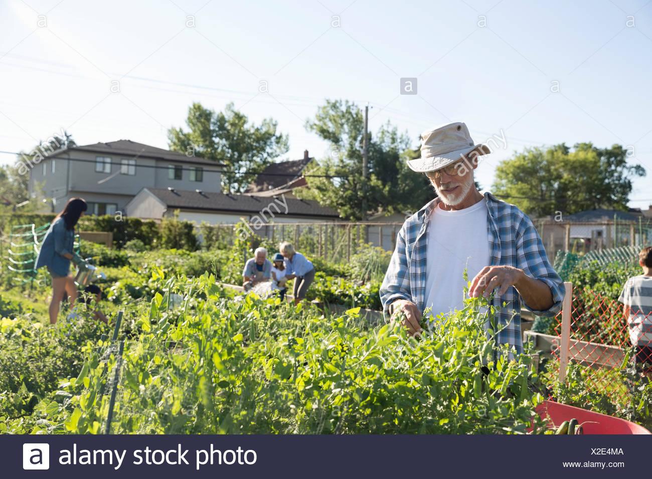 Senior man tending to community vegetable garden - Stock Image