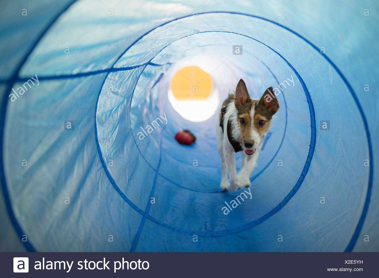 Dog playing in agility tunnel Stock Photo