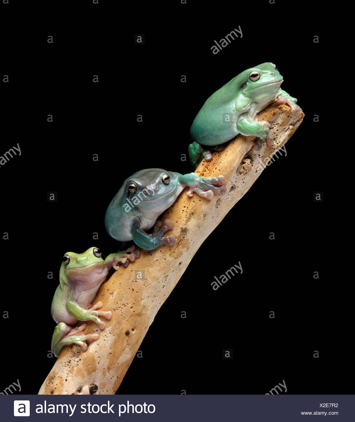 Three tree frogs on a branch - Stock Image