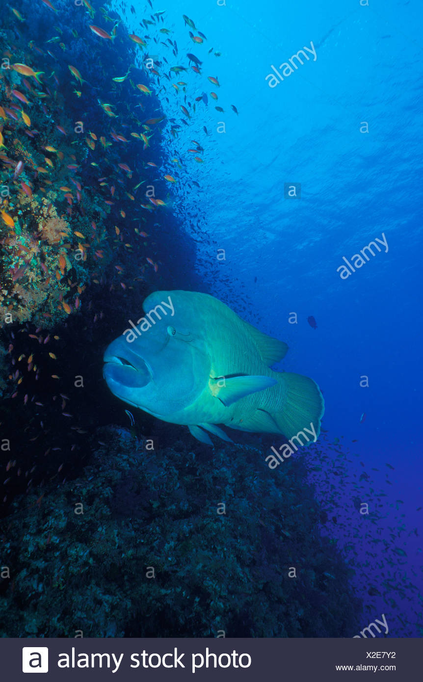 Humpback Wrasse Cheilinus undulatus Sinai Ras Mohammed Red Sea Egypt - Stock Image