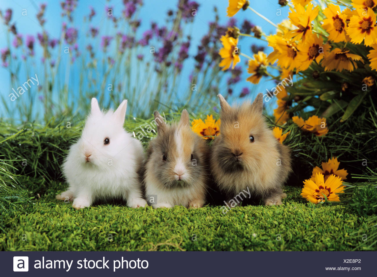 three young pygmy rabbits besides flowers / Sylilagus idahoensis / Brachylagus idahoensis - Stock Image