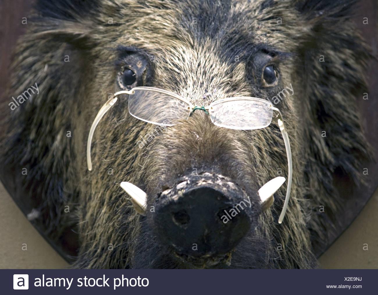Wild pig's head, Volterra, Tuscany, Italy - Stock Image