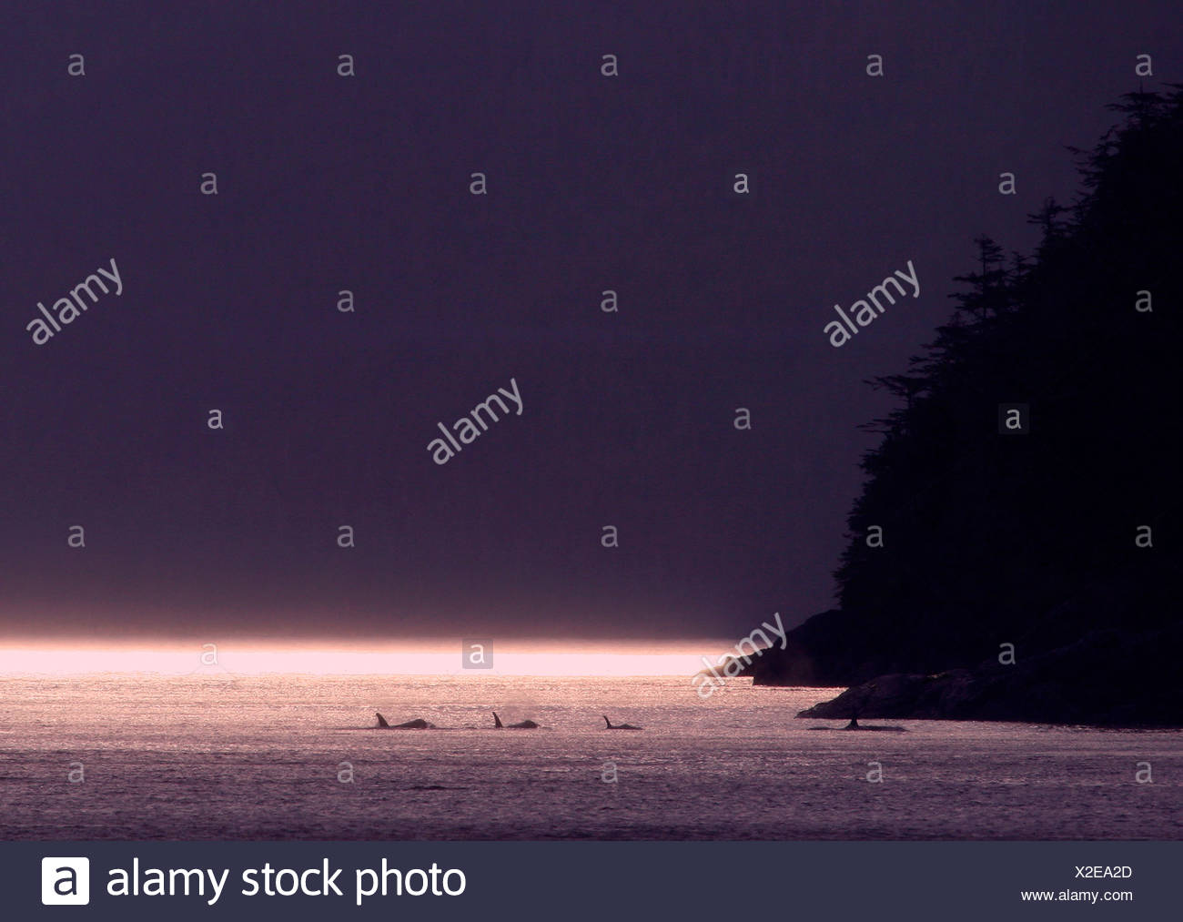 pod of Orcas Orcinus orca, Canada - Stock Image